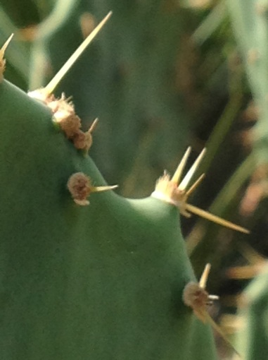 Close-up of a cactus in a Saudi garden.