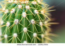 Close-up of a cactus in a Saudi garden
